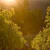 """Early morning on Howell Mountain. <br>Photo by <a href=""""http://www.tinacciphoto.com"""" target=""""_blank"""">Jason Tinacci</a> / Napa Valley Vintners"""