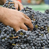 """A worker sorts through a bin of Cabernet Sauvignon, removing any leaves and not-ripe-enough clusters to leave only pristine fruit to hit the crusher. <br>Photo by <a href=""""http://www.tinacciphoto.com"""" target=""""_blank"""">Jason Tinacci</a> / Napa Valley Vintners"""